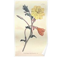 The Botanical magazine, or, Flower garden displayed by William Curtis V11 V12 1797 1798 0013 Oenothera Longiflora Long Flowered Oenothera Poster
