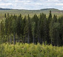 Spruce forest by Forestpictures