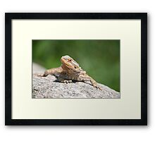 bearded dragon rock Framed Print