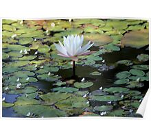 Water Lily V Poster