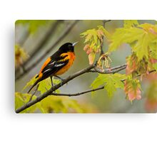 Northern Oriole looking for supper - Ottawa, Ontario Metal Print