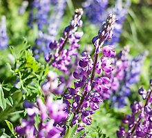 Lupine Flower by griffingphoto