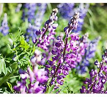 Lupine Flower Photographic Print