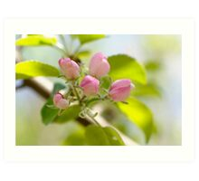 Apple tree blossoms Art Print