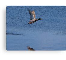 Ducks flying Canvas Print