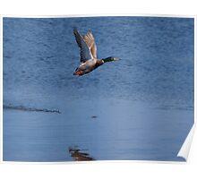 Ducks flying Poster