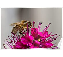 Bee on Hebe Flower Poster
