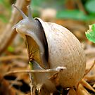 Old Man Snail by Sandra Moore
