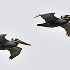 Brown Pelicans by Bob Hortman