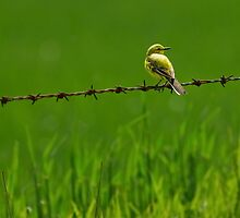 Yellow Wagtail, Pulfin, Yorkshire. by Miffy