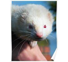Pet Ferret Poster