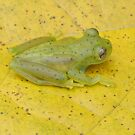 Glass Frog by Amrita Neelakantan
