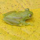 Glass Frog by Amrita Neelakantan