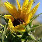 Sunflower Opening - Queen Creek AZ by Lindsey Schussman