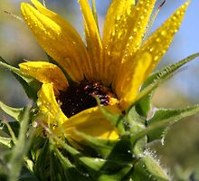 Sunflower Opening - Queen Creek AZ by Lindsey Schussman