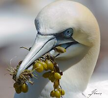 The Coy Northern Gannet by DigitallyStill