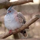 Crested Pidgeon by Rebelle