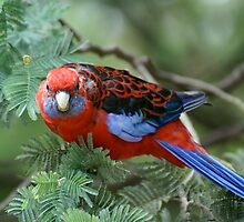 Crimson Rosella, Sherbrooke Forest, Mt Dandenong by Reneefroggy