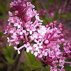 Syringa by ienemien