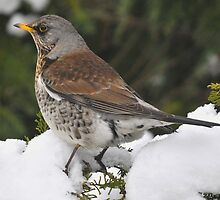 fieldfare (Turdus pilaris) by Grandalf