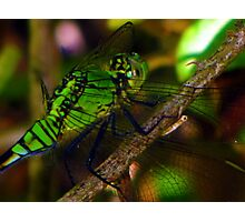 i say mosquito hawk, you say dragonfly Photographic Print