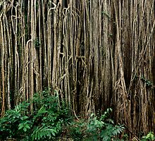 Giant Strangler Fig by Keith Rowell
