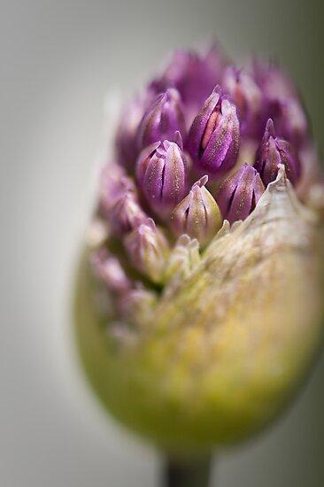 Spring Beauty 1 by Jacinthe Brault