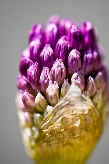 Spring Beauty 3 by Jacinthe Brault