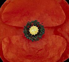 red poppy by Ralph  Weidne