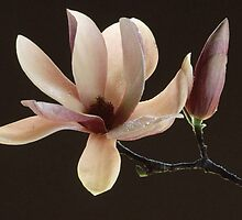 Dew On Tulip Magnolia by PhotoFabe