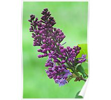 Lilacs Through My Window Poster