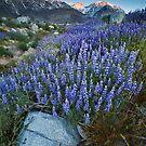 Eastern Sierra Lupine Sunrise by Nolan Nitschke