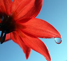Dahlia Dewdrop by Antionette