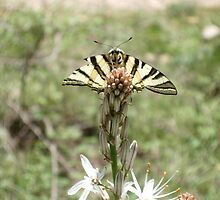 Swallowtail butterfly - l'Ospedale Forest, Corsica by Poggs