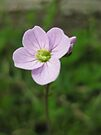 cuckoo flower by millymuso