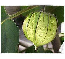 Cape gooseberry calyx... Poster