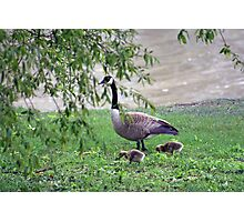 Mom And Baby Goslings Photographic Print