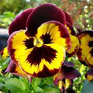 Pansy 14/05/2010 by Barry Norton