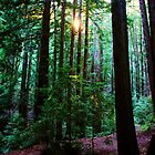 Redwoods in Wunderlich Park, San Fancisco Bay area 2010 by Igor Pozdnyakov