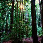 Redwoods in Wunderlich Park, San Fancisco Bay area 2010 by Igor Pozdnyakov
