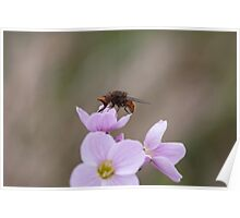 Rhingia campestris - hoverfly Poster