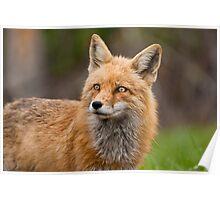 Wet Fox Poster