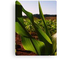 Curvy Corn Canvas Print