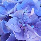 Violet Hydrangea by Kashmere1646