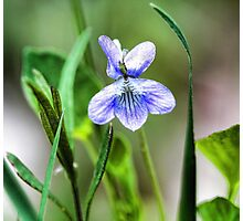 --Sweet Blue Violet in Tall Meadow Grass Photographic Print