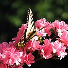 Swallowtail on Azalea by JeffeeArt4u