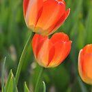 Tulip(1) by nicolaMY