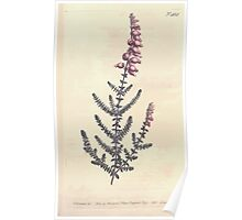 The Botanical magazine, or, Flower garden displayed by William Curtis V13 V14 1799 1800 0122 Erica Ciliaris Ciliated Heath Poster
