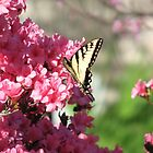 Swallowtail butterflies-Azleas by JeffeeArt4u