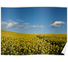 Spring Canola Field Poster